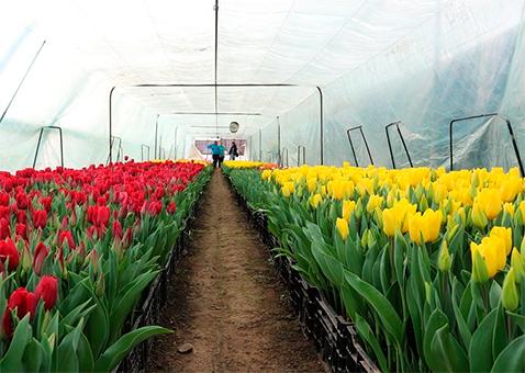 Фото тюльпанов в теплице